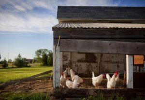 Asyl im Hühnerstall