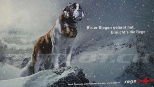#hund #bernhardiner