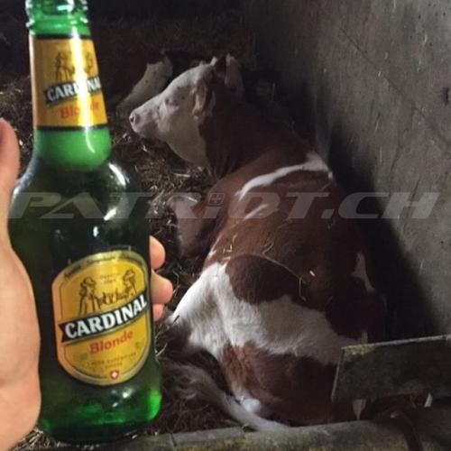 #simmentaler #fleckvieh #cardinal #bier